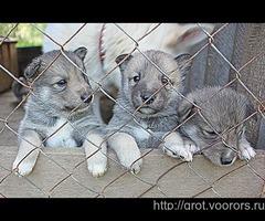 Продаются щенки западносибирской лайки в Тверской области