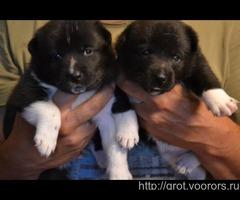 Щенки русско-европейской лайки/карельской (финской) медвежьей собаки