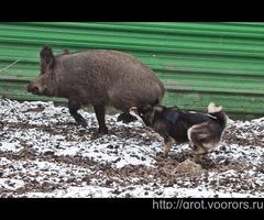 Продам щенков ВСЛ от элитных производителей вывезеных из Иркутской области